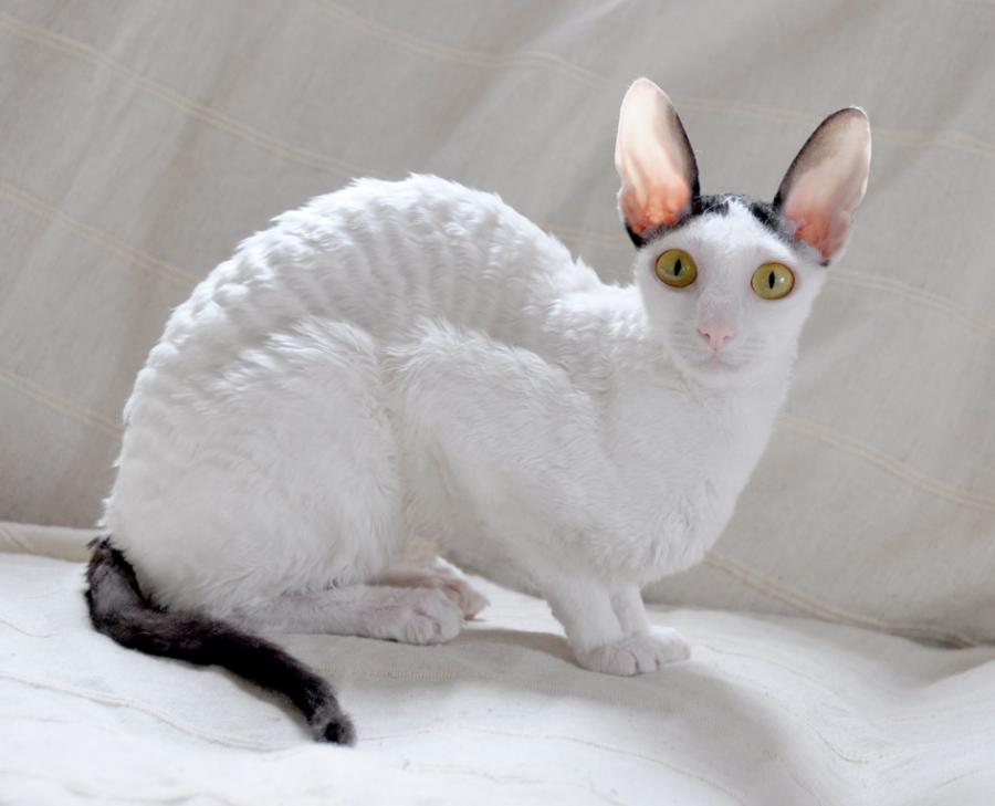 Cele mai frumoase rase de pisici din lume - Poza 2