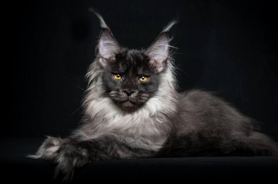 Cele mai frumoase rase de pisici din lume - Poza 14