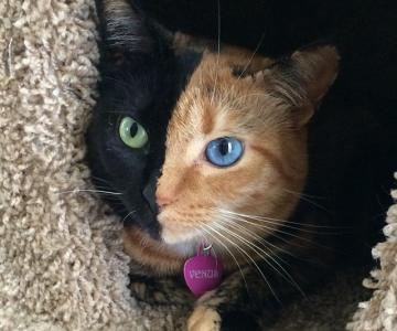 Frumusetea bizara a pisicii cu doua fete