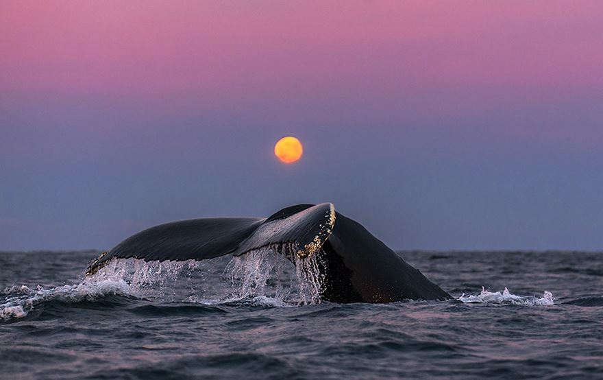Balenele din Oceanul Inghetat, in poze superbe - Poza 9