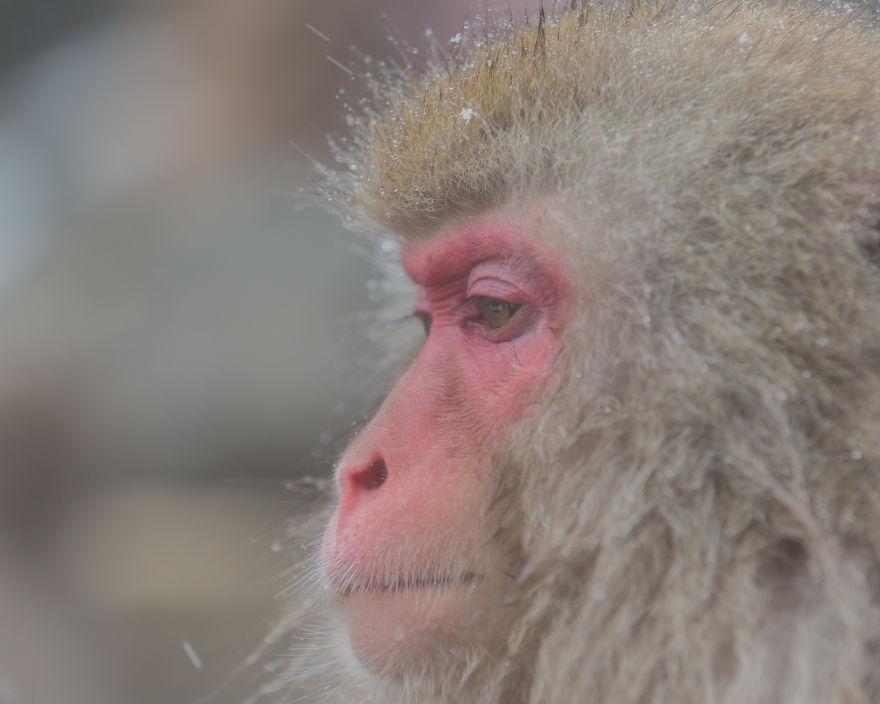 Expresiile impresionante ale maimutelor de zapada - Poza 9