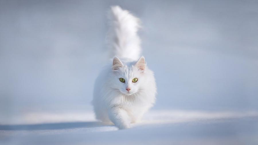 Cele mai frumoase rase de pisici din lume - Poza 12