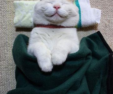 Shironeko, un maestru Zen al pisicilor