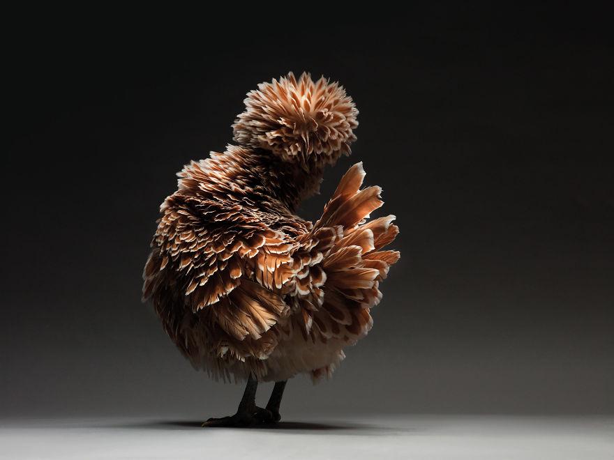 Cele mai rare si mai frumoase rase de gaini din lume - Poza 6