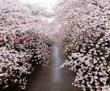 Festivalul florilor de cires Sakura in 13 imagini minunate