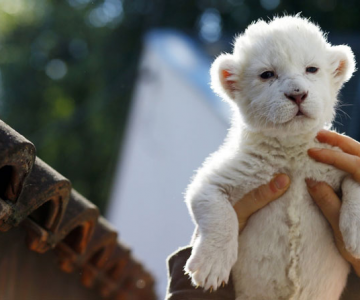 Puiut de leu alb, fotografiat la doar 8 zile