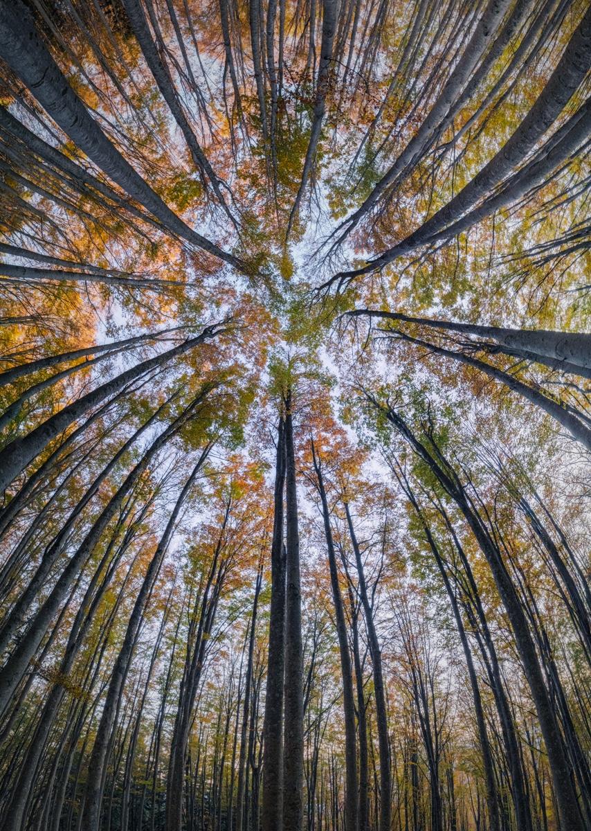 Splendoarea arborilor centenari, in urcusul lor spre cer - Poza 8