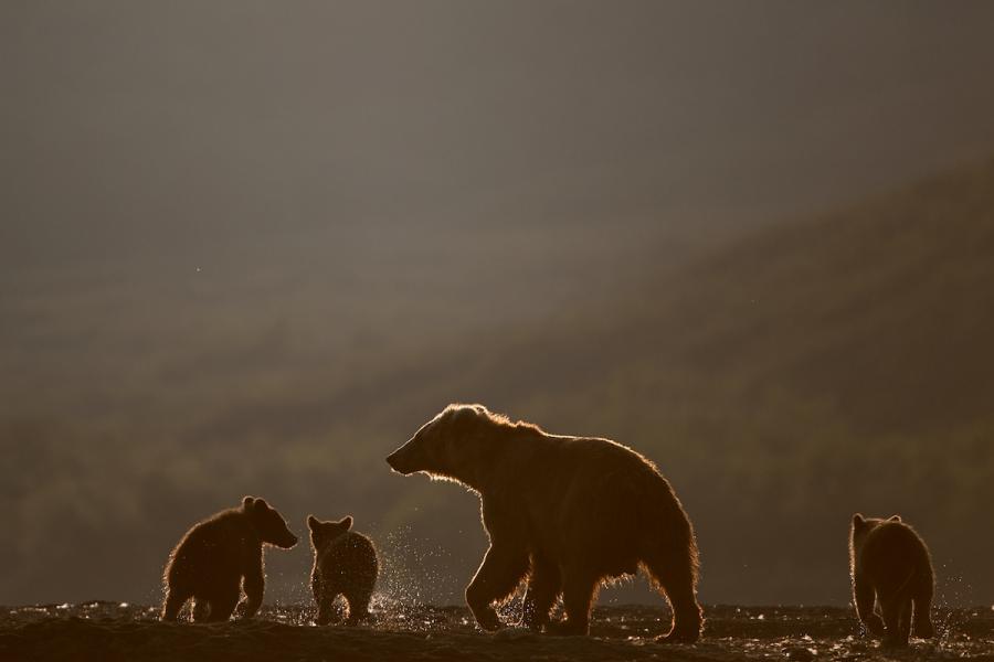 Ursul brun din Kamchatka, intr-un pictorial de exceptie - Poza 23