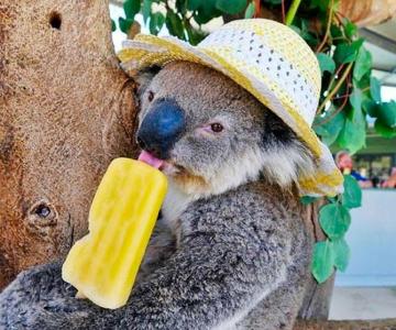 10 ursi koala adorabili