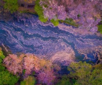 Ciresii infloriti din Japonia, intr-un pictorial de basm