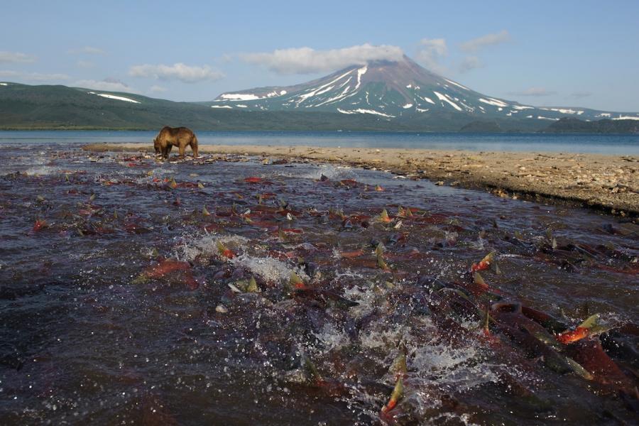 Ursul brun din Kamchatka, intr-un pictorial de exceptie - Poza 15