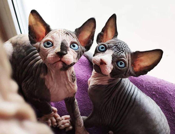 Frumusetea bizara a pisicutelor Sphynx, in poze de exceptie - Poza 23