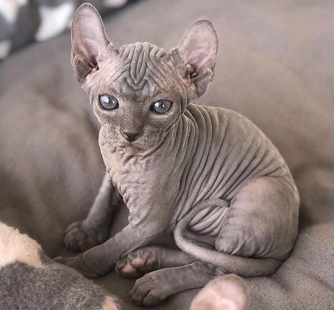 Frumusetea bizara a pisicutelor Sphynx, in poze de exceptie - Poza 10