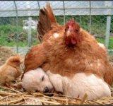 Cine a fost primul: oul, cainele sau gaina?