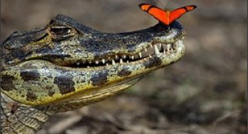 Un fluture rosu pe nasul unui crocodil