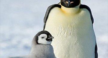 Fotograful David Schultz a marsaluit cu imparatul-pinguin
