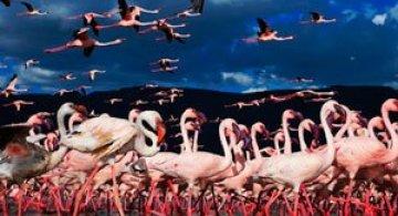 Peisaje roz cu flamingi, de Martin Harvey