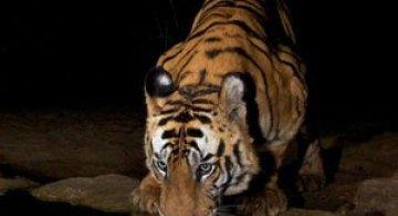 Povestea tigrilor, spusa in imagini de Steve Winter