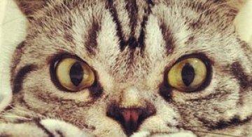 Pisica Shishi e sefa Internetului