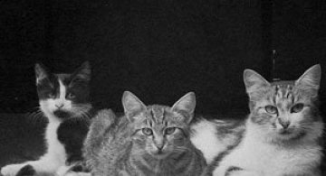 13 pisici alb-negru