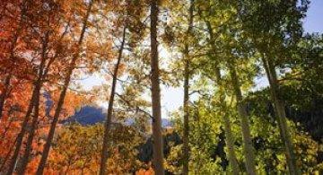 Minunatele culori ale padurilor din Aspen