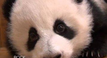Video: Cum invata puii de panda sa mearga