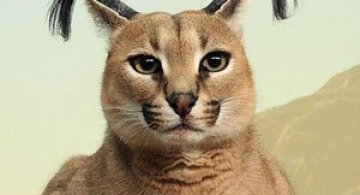 Pisicile caracal sunt foarte simpatice