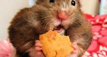 8 hamsteri mancaciosi foc