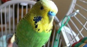 Video: Papagalul vorbaret, Disco
