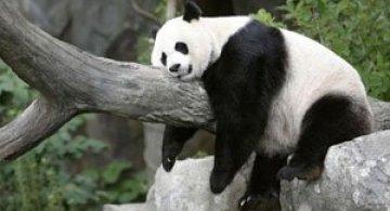 Viata unui urs panda e o mare vacanta!
