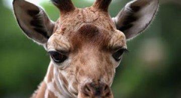 O zi din viata unei girafe la zoo