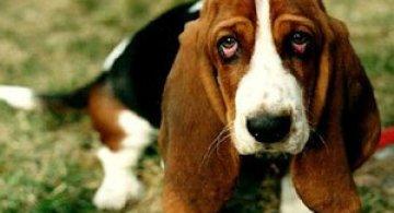10 motive sa indragiti cainii Basset Hound