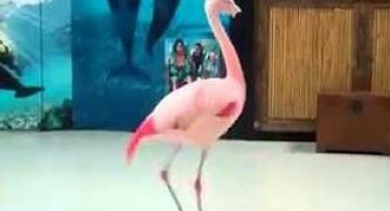 Video: Pinky, flamingoul care danseaza step