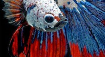 Gratia dansului pestilor in acvariu, de Visarute Angktanavich