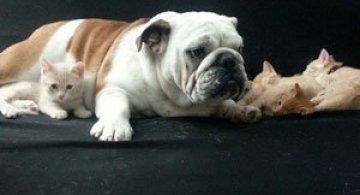 Bulldogul care a adoptat 6 pisici!