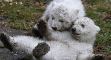 Doi ursuleti polari gemeni se bucura de viata
