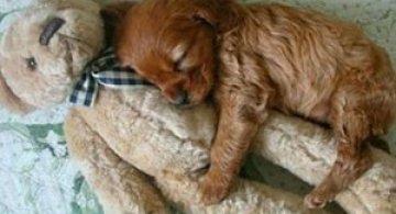 16 pui de catel dorm cu jucariile lor preferate