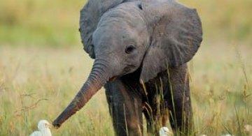 10 elefantei invata sa-si foloseasca trompele