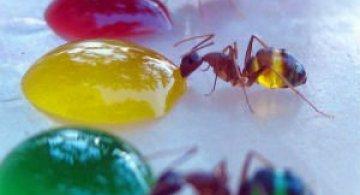 Experiment coloristic: Furnicile-curcubeu fac deliciul unui cercetator