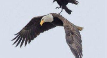 Aventuri rarisime la inaltime: Calatoria unei ciori pe spatele unui vultur