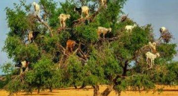 Ciorchini de capre in copaci