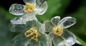 Florile care isi schimba infatisarea cand ploua