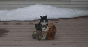 Protestele felinelor: 13 pisici incuiate pe afara, in crize