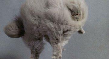 Cele mai pufoase pisici din lume