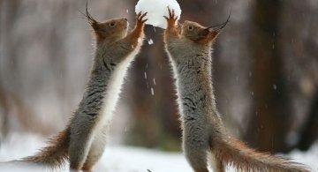 Doua veverite zurlii si omul de zapada