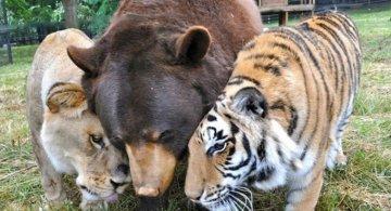 Un leu, un urs, un tigru si cea mai frumoasa prietenie