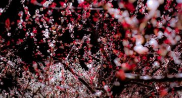 Primavara din Japonia, in cele mai frumoase poze