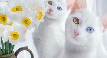 Cele mai frumoase pisici gemene
