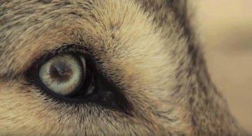 Puterea necuvantatoarelor: Lupii care au schimbat cursul naturii