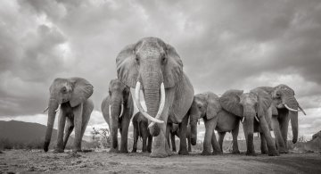 """Pe taramul gigantilor: Povestea ultimelor fotografii cu """"Regina elefantilor"""""""